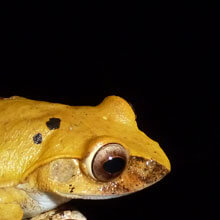 A yellow frog
