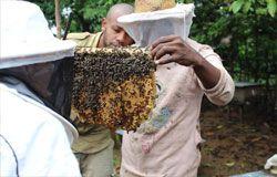 Beekeepers examine honeycomb