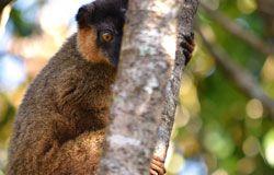A lemur hiding behind a tree