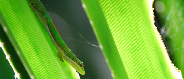 A phelsuma antanosy gecko on a leaf