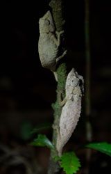 Pair of elongate leaf chameleons (© Kelsey Hartman)