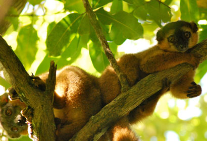 A pair of brown lemurs look down from a tree branch
