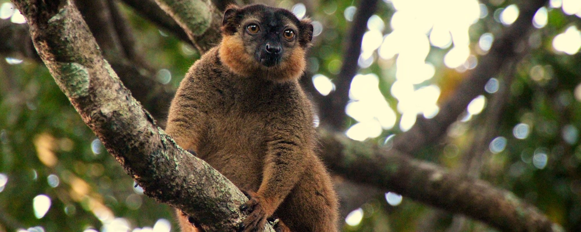 A collared brown lemur, eulemur collaris, in a tree