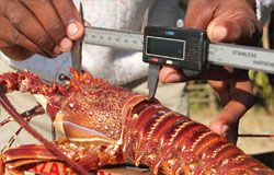 A caught lobster is measured to check it meets legal size limits (© Steve Long)
