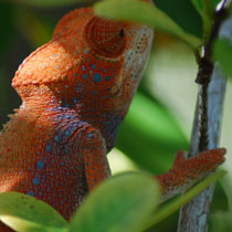 A bright orange furcifer verrucosis chameleon during mating season