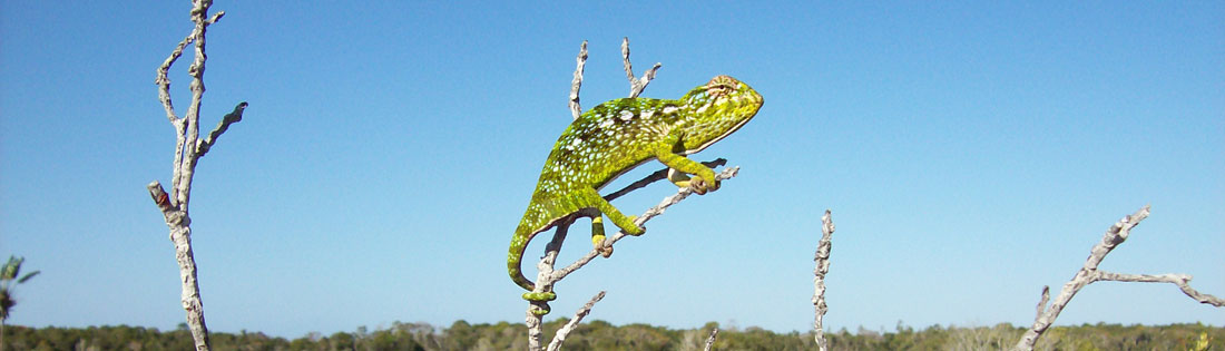A bright green chameleon