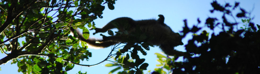 A lemur jumps between tree-tops