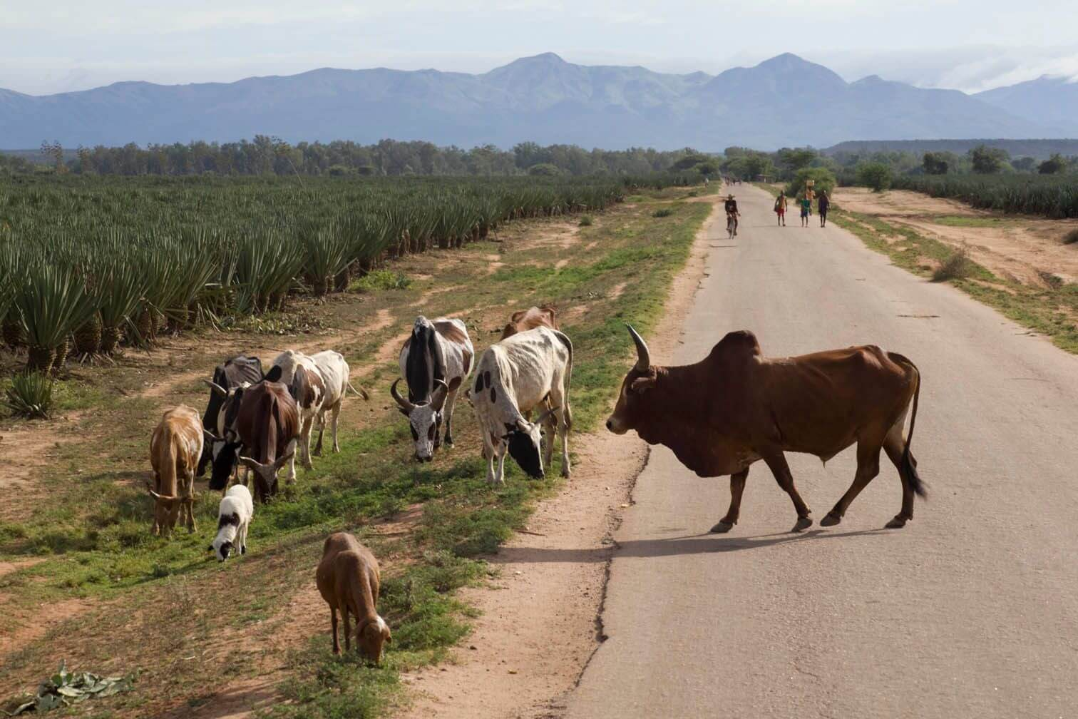 General_2010_Zebu_crossing_road_EK.jpg