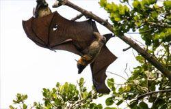 Bat with damaged wing