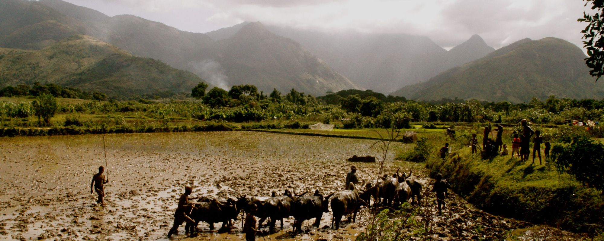 Plowing fields with zebu to prepare them for rice planting