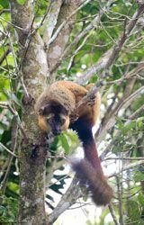 Brown lemur in a tree