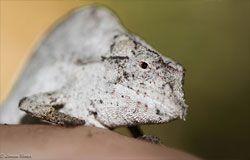 Macro close-up of a chameleon (© Larissa Barker)