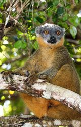 Brown lemur perched in a tree