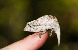 Chameleon on finger tip (© Larissa Barker)