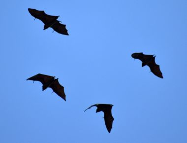 pteropus-rufus-madagascar-flying-fox-bats-group.jpg