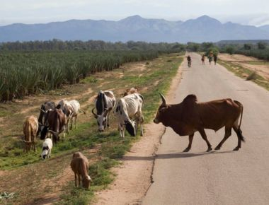 General 2010 Zebu crossing road EK.jpg